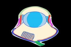 Ojos aplanados Esclerótica de las Aves